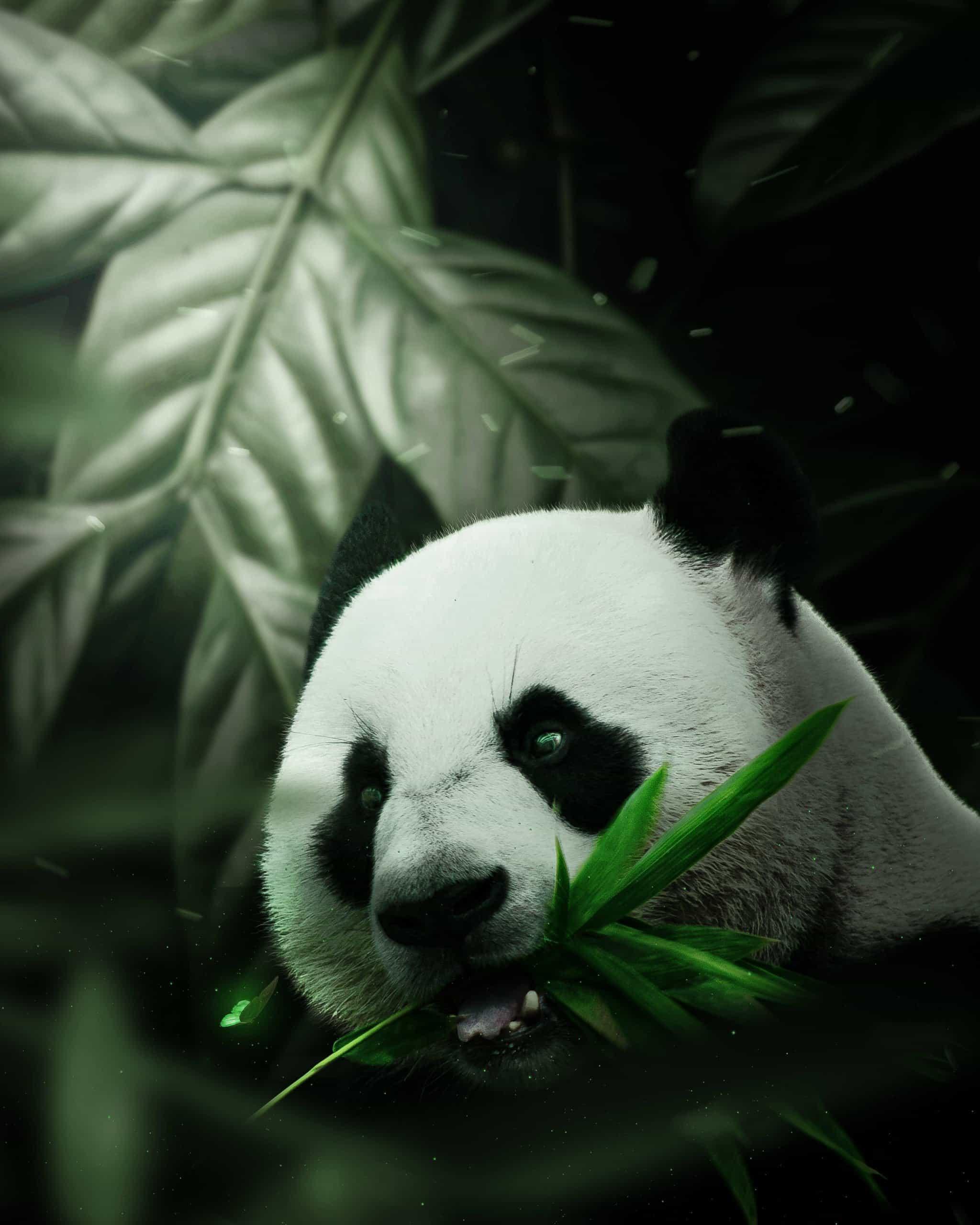 Create a Photomanipulation of Panda